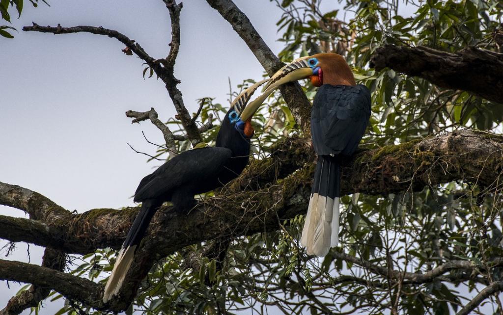 A pair of Rufousnecked hornbills. Photo: istock