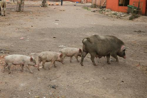 Disease claims over 2,000 pigs in Mizoram's Champhai district