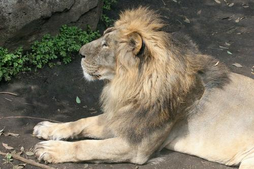 Gir deaths: one lion, two lionesses found guilty