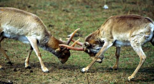 Two Saiga antelope males spar  Credit: Flickr