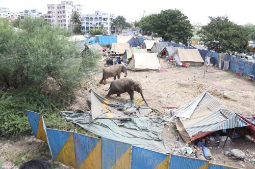 Two of the four elephants tied on the Circus grounds in Pune Credit: Wildlife SOS