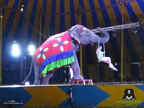 One of the elephants performing at the circus  Credit: Wildlife SOS