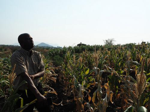 Global warming will reduce maize yields in Africa in the near future