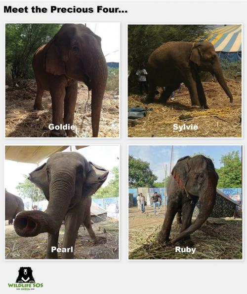 The four cow elephants   Credit: Wildlife SOS