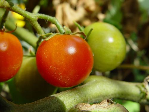 Nigeria's tomato crop is suffering its worst pest attack