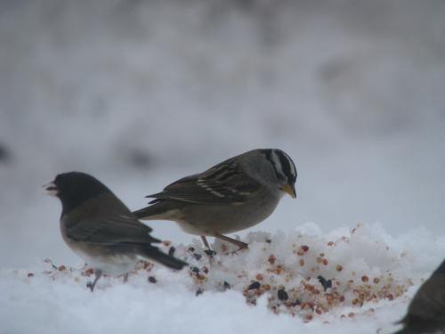 Arctic birds face disappearing breeding grounds as climate warms