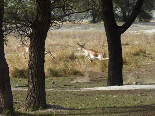 'Did the blackbuck and chinkara commit suicide?'