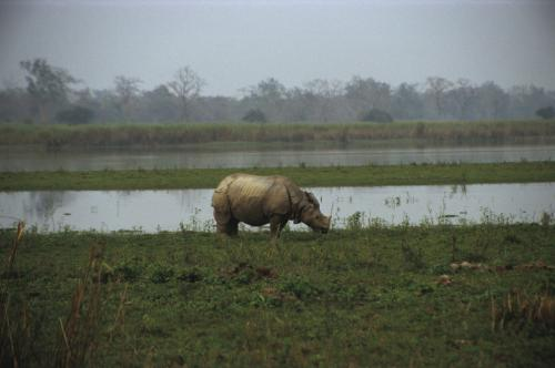 Assam floods: about 250 animals, including 17 rhinos dead in Kaziranga