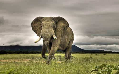 Elephant numbers across the continent declined by roughly 70,000 between 2006 and 2013 Credit:miquitos