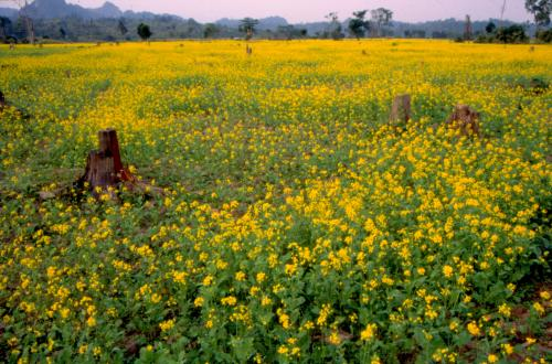 Improving India's oilseeds production