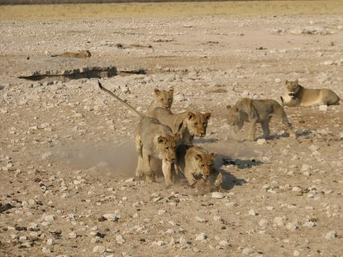 Clashes between humans and lions in a region celebrated by tourists and conservationists have encouraged significant investment in addressing human-wildlife conflict Credit: NH53/Flickr