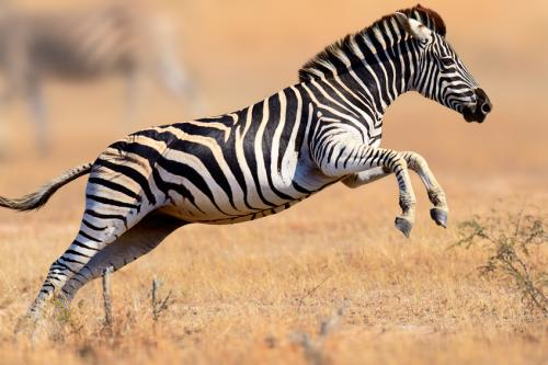 If horses were so important to human civilisation, why not the zebra? (Credit: iStock)