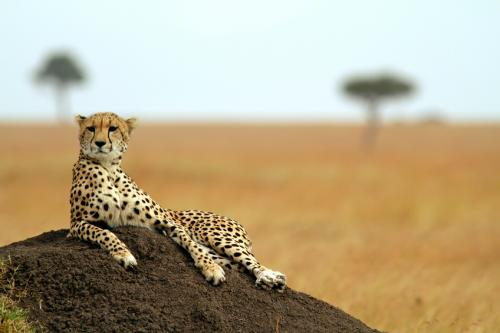More than 80 per cent of cheetahs in Zimbabwe are now found in protected areas (Credit: iStock)