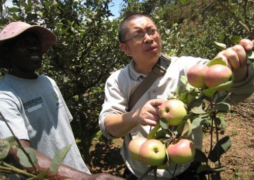 Commercial production of apples is a recent development in Uganda. An important reason driving apple yields is the suitable climatic environment in the cool highlands of Kabale Credit: Zhongwei Liu