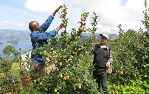 Ugandan farmers going commercial way in apple production