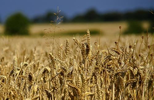 The FAO has raised its forecast of global wheat production to 742.4 million tonnes driven by increases in India, the US and the Russian Federation