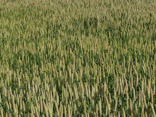 """Today, traditional varieties of crops such as millets, buckwheat and barley, are stigmatised as """"poor food"""", but these crops have great value Credit: Dinesh Valke/Flickr"""