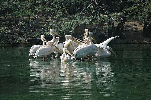 Pelicans at the Delhi zoo (Koshy Koshy/Flickr)