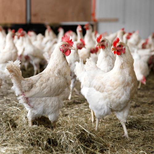 No mandatory bio-security standards have been notified for poultry farms in India