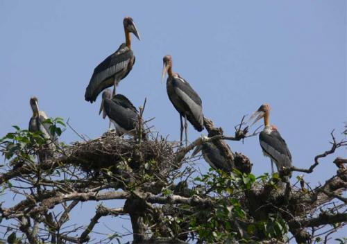 From loathed to loved: villagers in Assam rally to save Greater Adjutant stork