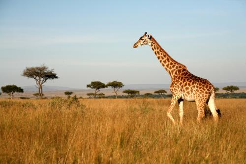 The report says that growing human population is having a negative impact on many giraffe sub-populations (Credit: iStock)