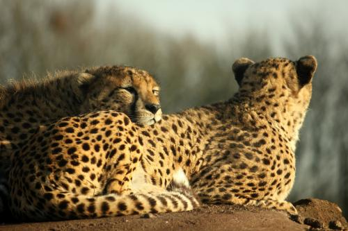 Cheetahs disappearing faster than you thought