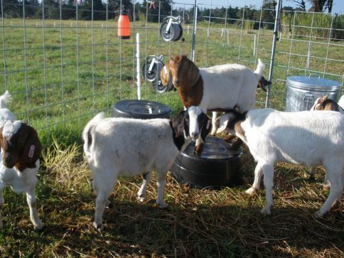 US FDA tightens efforts to address antibiotic use in livestock sector