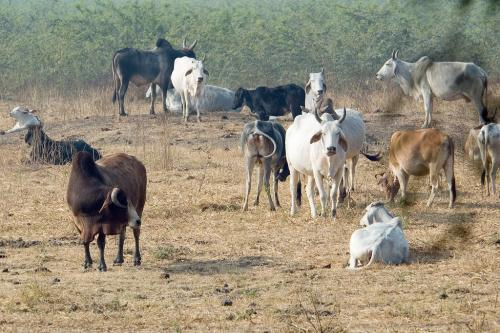 Centre intends to notify rules for regulating livestock markets, taking care of seized animals