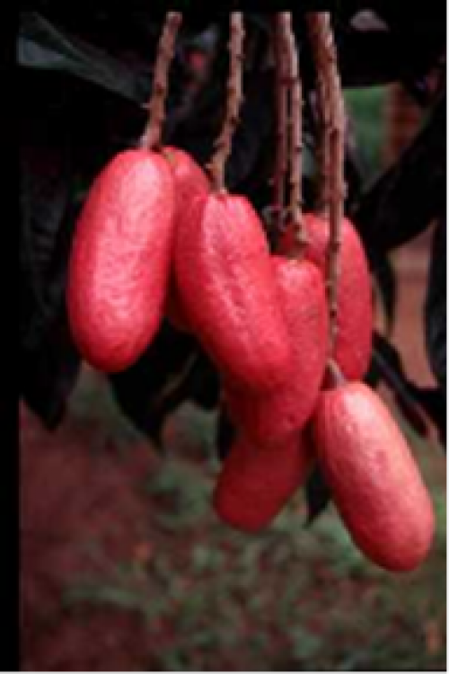 The Dacryodes edules fruit in Cameroon