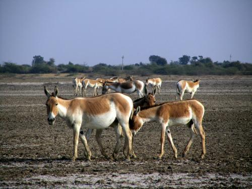 A herd of 'ghudkhar' in the Little Rann  (Credit: Wikimedia Commons)