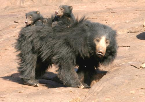 Human-Bear Conflict is a growing concern and one that requires attention to help mitigate the conflict that is spiraling out of control as urban concrete jungles are rapidly replacing forest tracts and bear habitat across India. Credit: Wikimedia Commons