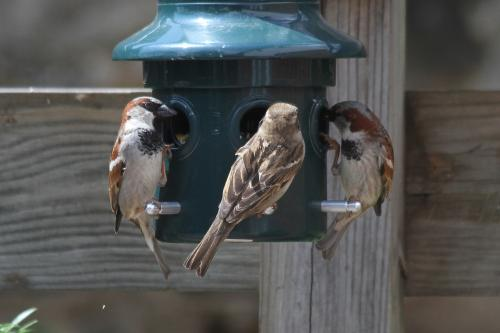 How can we bring disappearing sparrows back to our cities?