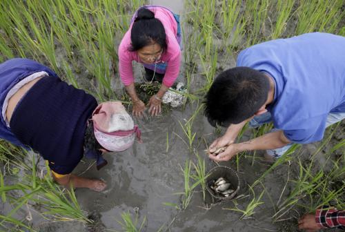 The Apatanis of Ziro Valley in Arunachal Pradesh grow fish and rice together Credit: Vikas Choudhary