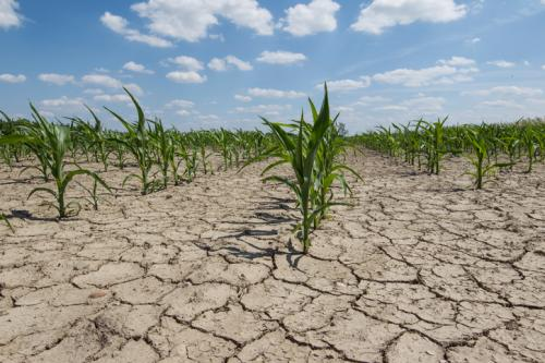 Indian scientists develop transgenic rice that can withstand drought