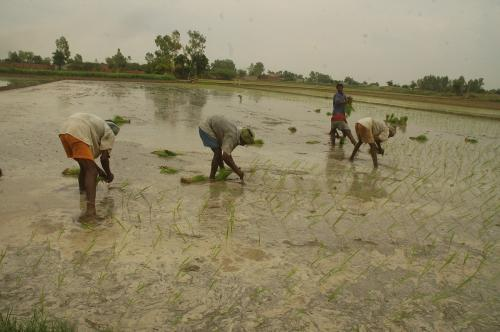 Climate change to affect rice productivity, finds a new study