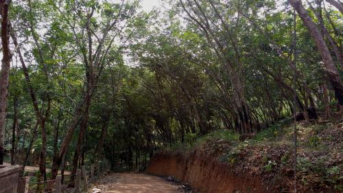 Rubber trees bending towards empty space (Author provided)