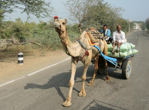 Traditional use of camel for transportation in declining (Credit: Güldem Üstün/Flickr)