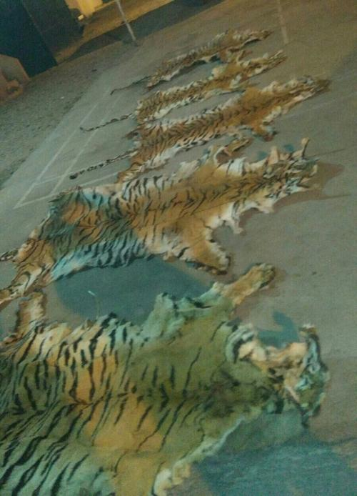 In March 2016, five tiger skins were seized by the Uttarakhand police. Credit: Rajeev Mehta