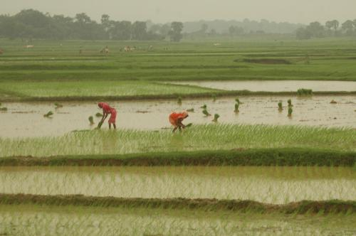 Can biotechnology help feed the world's hungriest region—Asia and the Pacific?