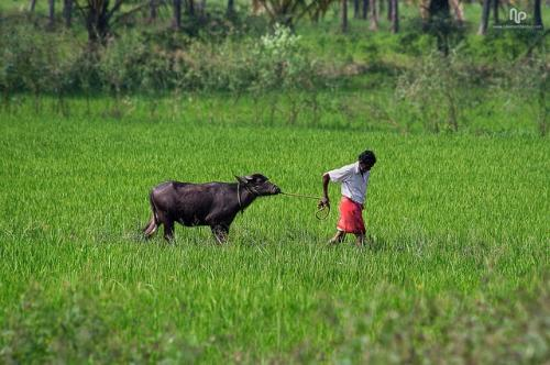 Time-tested methods for sustainable agriculture still have a big role to play in terms of crop rotation, crop diversity, drip irrigation, traditional and genetic breeding, integrated pest management and so on Credit: Navaneeth Kishor/Flickr