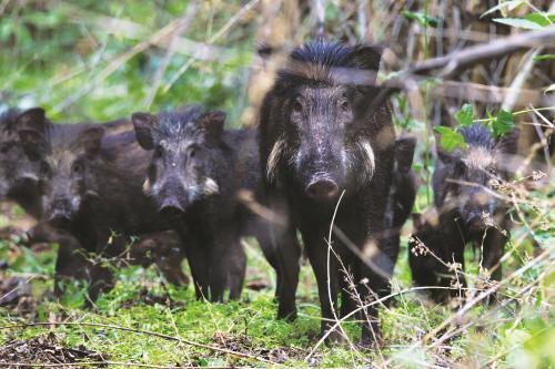 उत्तराखंड में जंगली सुअर का आतंक