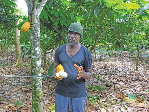 Cocoa wilts in Ghana