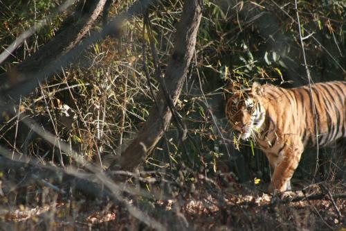 बाघ संरक्षण में प्रभावी हो सकती है एकीकृत मॉनिटरिंग