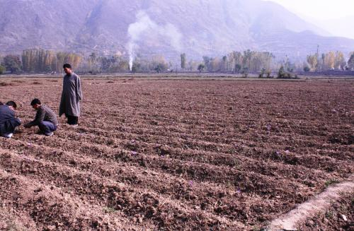 Saffron production to drop over 90% as Kashmir sees lowest rainfall in 35 years