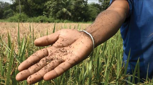 After an erratic monsoon, farmers in nine states struggle with pest outbreaks