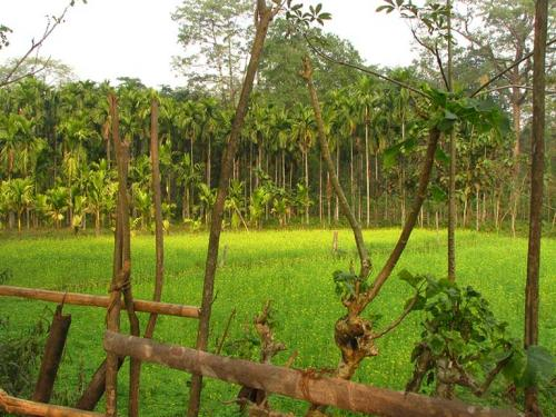 Betel nut forms mustard field boundary. Photo: Author/Mongabay.