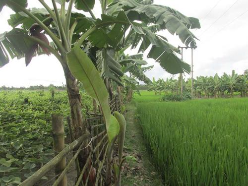 Agroforestry Boosts Rice And Biodiversity In India
