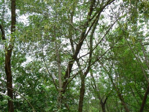 Leaves from nitrogen-rich trees can be potential fertilisers