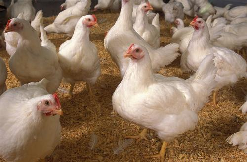Chicken hatcheries in Egypt serving as breeding grounds for antibiotic resistance