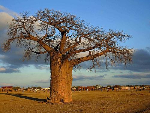 A baobab tree sheds its leaves in the dry season to require less water. Credit: Wikimedia Commons